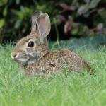 Eastern Cottontail - Frontyard