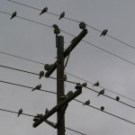Eurasian Collared-dove - Power Lines