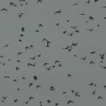 European Starling - VCDB