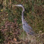 Great Blue Heron - Close to Home