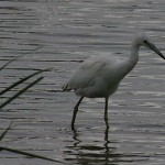 Little Blue Heron - Juvenile Stalking