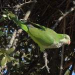 Monk Parakeet - Addison