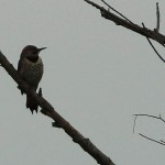 Northern Flicker - VCDB