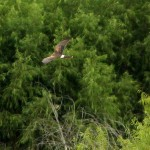 Northern Harrier - VCDB