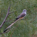 Scissor-tailed Flycatcher - Beauty