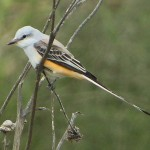 Scissor-tailed Flycatcher - VCDB