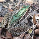 Southern Leopard Frog - Frisco's Grand Park