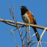 Spotted Towhee - A First Sighting!