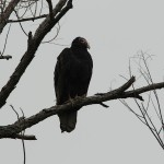 Turkey Vulture - VCDB