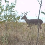 White-tailed Deer - Frisco's Grand Park