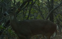 White-tailed Deer - In Arbor Hills Nature Preserve