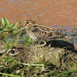 Wilson's Snipe - A First Sighting!
