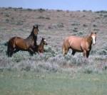 Mustang - Free Ranging