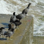 American Coot - Spillway