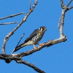 American Kestrel - Riverbend
