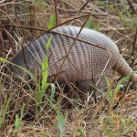Armadillo - Grasshopper Bounty