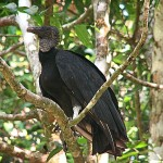 Black Vulture - Kettle