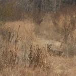 Coyote - LLELA