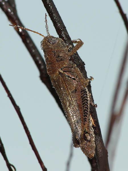 Differential Grasshopp...