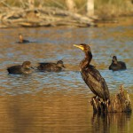 Double-crested Cormorant - Diving In