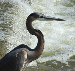 Great Blue Heron - Fishing the Spillway