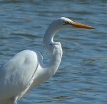 Great Egret - Statuesque