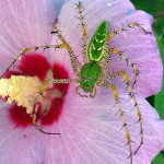 Green Lynx Spider - World of the Small