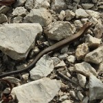 Ground Skink - Almost a Snake