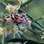 Jagged Ambush Bug - Can You See?
