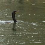 Neotropic Cormorant - LLELA