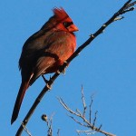 Northern Cardinal - Cold Day