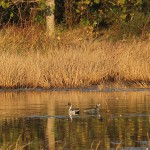 Northern Pintail - Fall Water