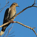 White-winged Dove - Early Morning