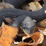 Yellow-bellied Water Snake - Leaf Litter