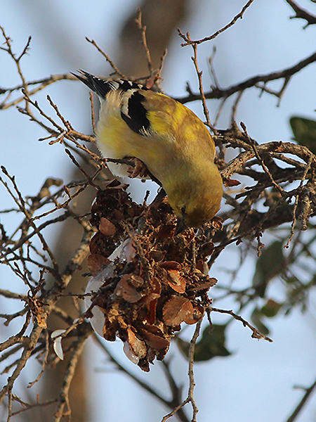 American Goldfinch - Raider
