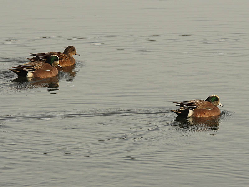 American Wigeon - Winter Water