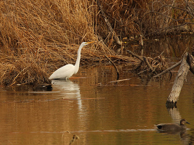 A Great Egret and a pair of Gadwalls.