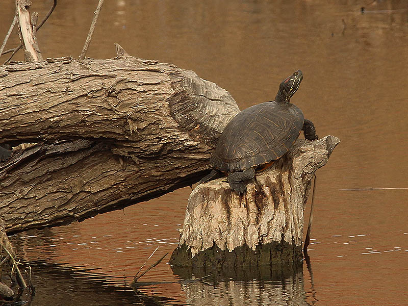 This Red-eared Slider has hauled himself out of the water and onto a tree felled by the resident Beavers.