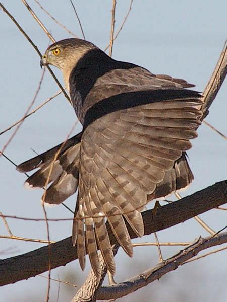 Cooper's Hawk - Preening