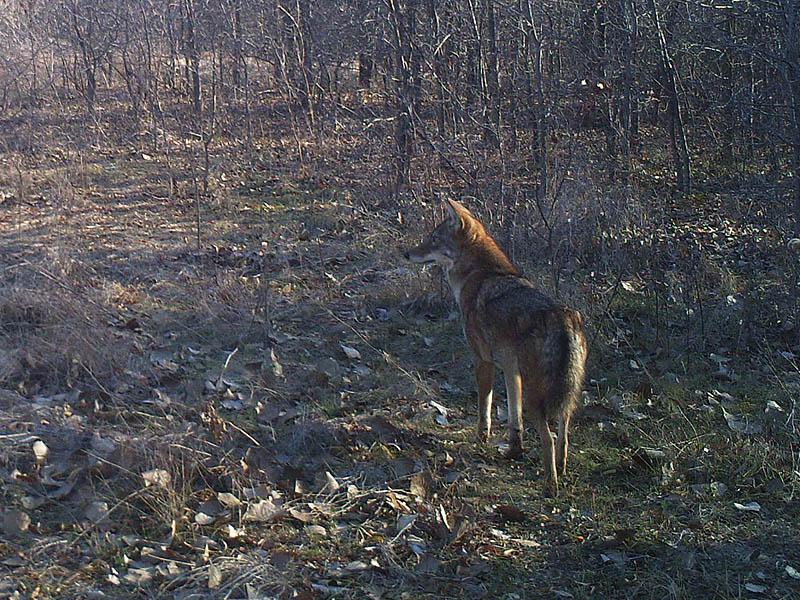 Something has capture this Coyote's attention.  It is likely mountain bikers riding through the woods on the Frito-Lay side of the fence line.