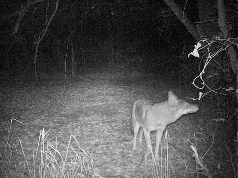 This Coyote was baited in front of the camera with apples.