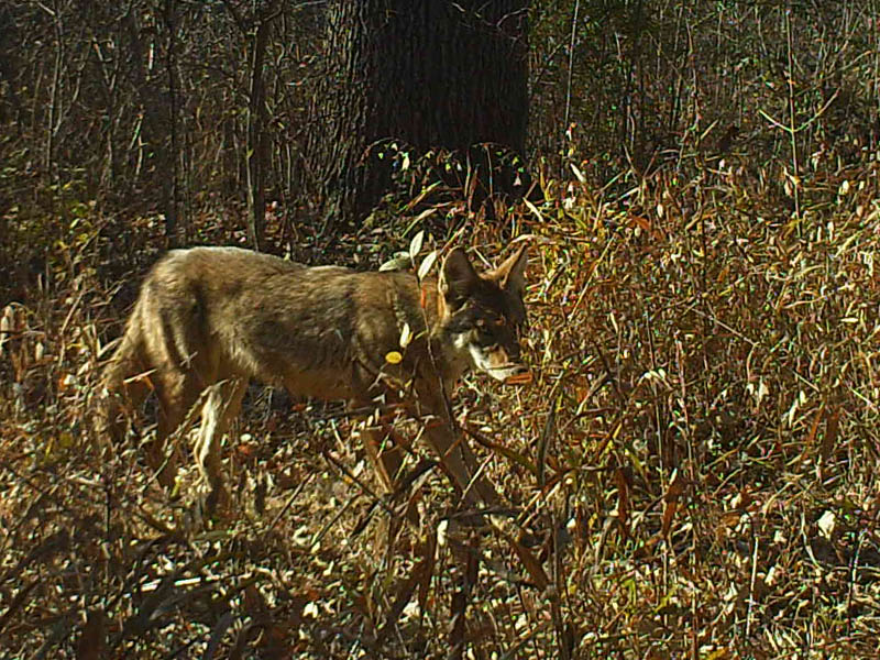 By luck, I set this Scouting Camera up in front of this Coyote's favorite resting spot.  In this picture he is preparing to have a stretch.