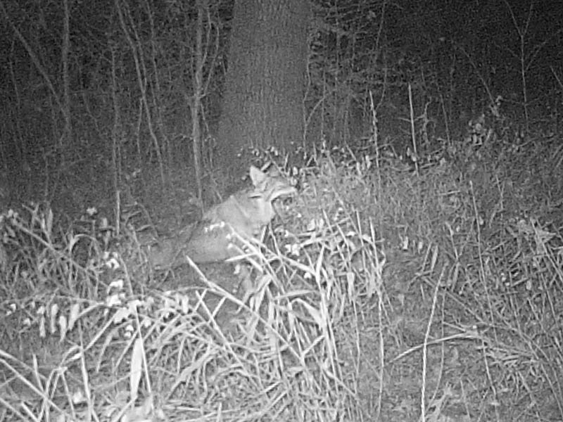 Another night the coyote, slept in front of the camera for a little over an hour.  This yawn and stretch occurred upon his awakening.