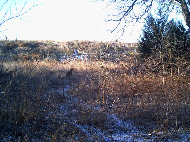 There are at least four Coyotes in this picture.  Can you see them all?