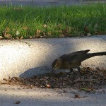 Great-tailed Grackle - Acorns