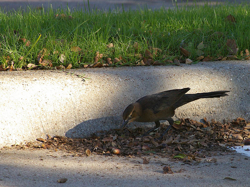 Great-tailed Grackle - Acorns001
