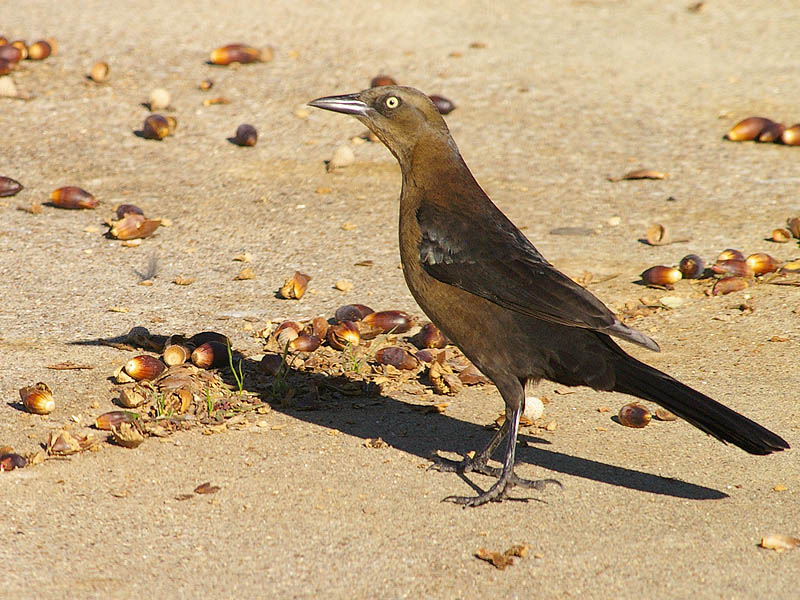 Great-tailed Grackle - Acorns-002