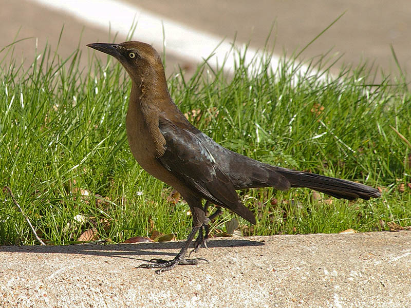 Great-tailed Grackle - Acorns003
