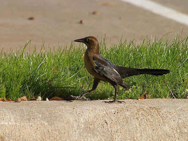 Great-tailed Grackle - Acorns004