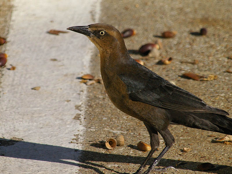 Great-tailed Grackle - Acorns-005
